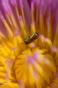Free Purple Lotus Stock Image - 21538991