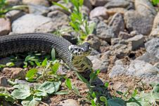 Free Little Snake Royalty Free Stock Photos - 21540448