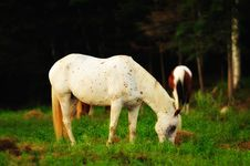 Free White And Brown Speckled Horse Royalty Free Stock Photography - 21543737