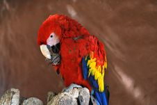 Free Red Macaw Stock Photos - 21545173
