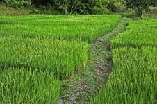 Free Walkway On Rice Field Royalty Free Stock Photography - 21548907
