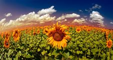 Free Golden Sunset Over The Sunflowes Stock Image - 21550671