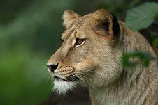 Free Lion Female Portrait Stock Photography - 21552882