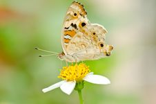 Junonia Orithya Butterfly Royalty Free Stock Photography