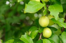 Free Cherry Plums On Branch Stock Photography - 21555362