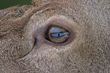 Free Eye Of The Fawn Royalty Free Stock Photo - 21555785