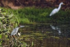 Free Night Heron And Great Egret Stock Photography - 21555792