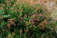 Free Erica Carnea Royalty Free Stock Images - 21559679