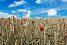 Free Golden Wheat With Red Poppy Stock Photos - 21563953