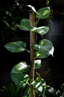 Free Raspberry Tree Stock Image - 21564021
