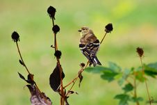 Free American Goldfinch In Changing Plumage Royalty Free Stock Photos - 21571758