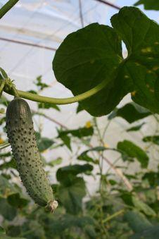 Free Fresh Green Eco Cucumbers Stock Image - 21572251