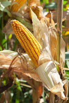 Free Corn Field Stock Photo - 21573870