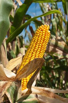 Free Corn Field Stock Image - 21573921