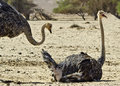 Free African Ostrich (Struthio Camelus), Arava, Israel Stock Photography - 21584422