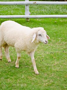 Free Sheep In Farmland Stock Photos - 21582483