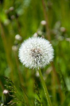 Free White Dandelion On A Meadow Stock Photos - 21583843
