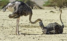 Free African Ostrich (Struthio Camelus), Arava, Israel Stock Photography - 21584512
