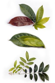 Free Leaf Life Cycle Royalty Free Stock Images - 21585199
