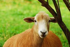 Free Mother Sheep Resting By Tree Royalty Free Stock Images - 21588399