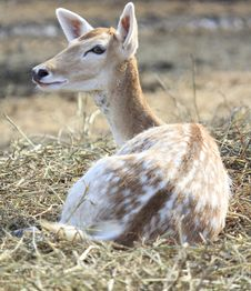 Free Cute Young Deer Stock Images - 21589374