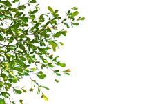 Free Green Leave Royalty Free Stock Photography - 21589677