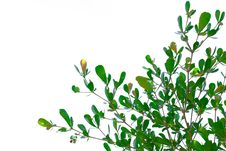 Free Green Leave Royalty Free Stock Photo - 21589685