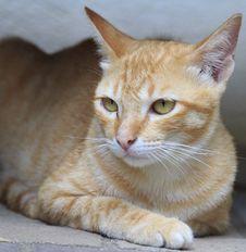 Free Yellow Kitty Cat Stock Image - 21589691