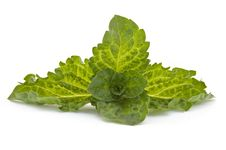Free Fresh-picked Mint Leaves Royalty Free Stock Photos - 21591858