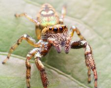 Free Jumper Spider Royalty Free Stock Images - 21593439