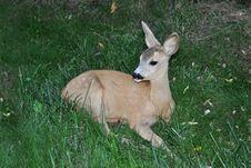 Free Whitetail Deer Stock Photos - 21593813