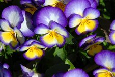 Free Purple Pansies Royalty Free Stock Photography - 21595247