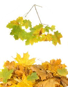 Free Leaves And Maple Branch Stock Photography - 21597982
