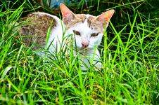 Free A White Brown Cat On The Grass Royalty Free Stock Photography - 21598277