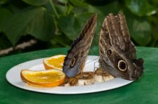 Brush-footed Butterflies Feeding Stock Photo