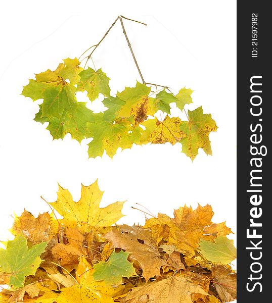 Leaves and maple branch