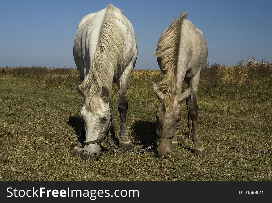 Horse and foal grazing (parallel)