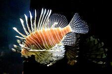 The Lion Fish Stock Image