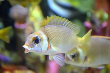 The Squirrel Fish Royalty Free Stock Photo