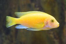 The Yellow Morph Fish Stock Photo