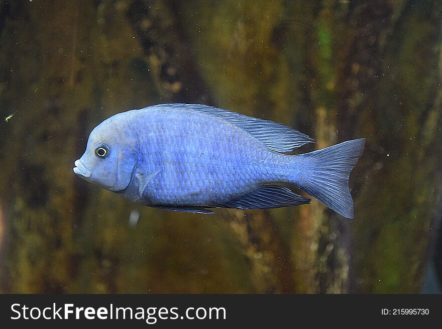 The blue dolphin fish