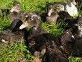 Free Group Of Mallard Ducks Stock Photos - 2163593