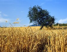 Free Wheat Royalty Free Stock Photography - 2160267