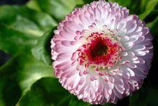 Free Bellis Bloom Stock Image - 2160331
