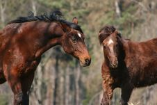 Free Two Horses Royalty Free Stock Photography - 2161837
