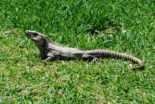 Free Iguana Stock Photo - 2162080