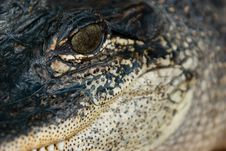 Close-Up Alligator Face Stock Image