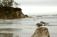 Free Seagulls On The Beach Royalty Free Stock Images - 2162409