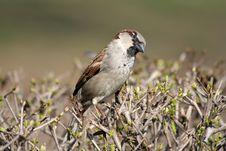 Free Sparrow Royalty Free Stock Photos - 2162418