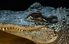 Close-Up Alligator Face 2 Royalty Free Stock Images